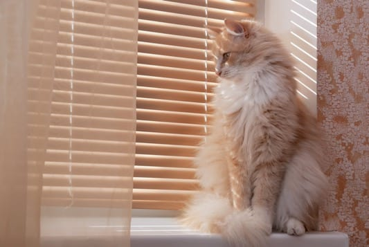 Cat sitting at the venetian blinds in their home